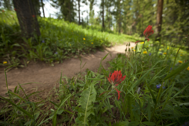 Vail Indian Paintbrush